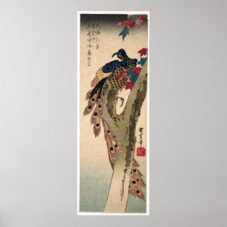 Pfau gehockt auf einem Ahornbaum Poster