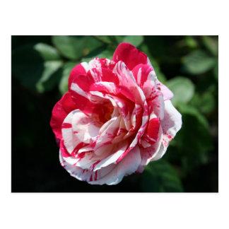 Pfefferminz-Rose Postkarte