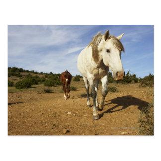 Pferde, Aude, Languedoc-Roussillon, Frankreich Postkarte