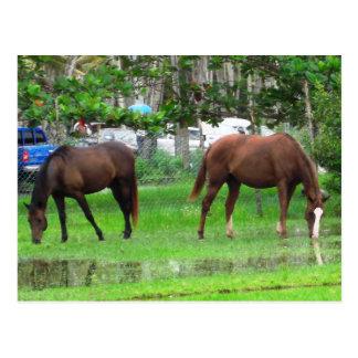 Pferde, die in den Icacopflaumen, Südtrinidad Postkarte