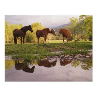 Pferde reflektierten sich im kleinen Strom, Cades Postkarte