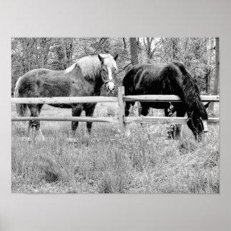 Pferde Schwarzes u. Weiß -- Poster