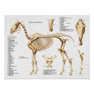 Pferdeanatomie-Skelett-Plakat Poster