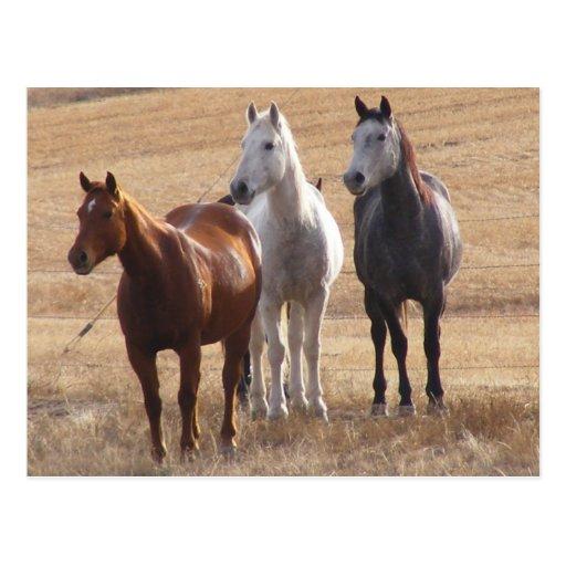 Pferdeartige Neugier 3 Postkarte