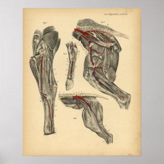 Pferdebecken- Bein-Anatomie 1908 Vintager Druck Poster