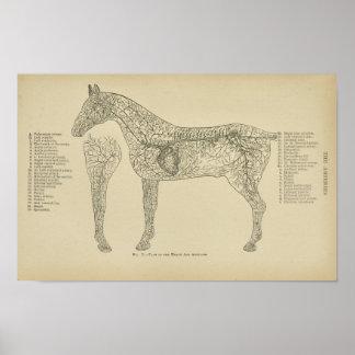 Pferdeherz-Arterien-Anatomie-Veterinärdruck Poster