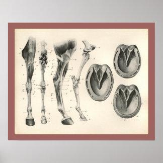 Pferdehuf-Bein-Knochen-Muskel-Anatomie-Druck Poster