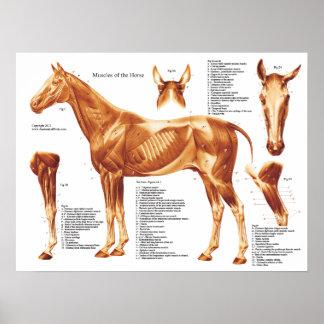 Pferdemuskel-Anatomie-Diagramm Poster