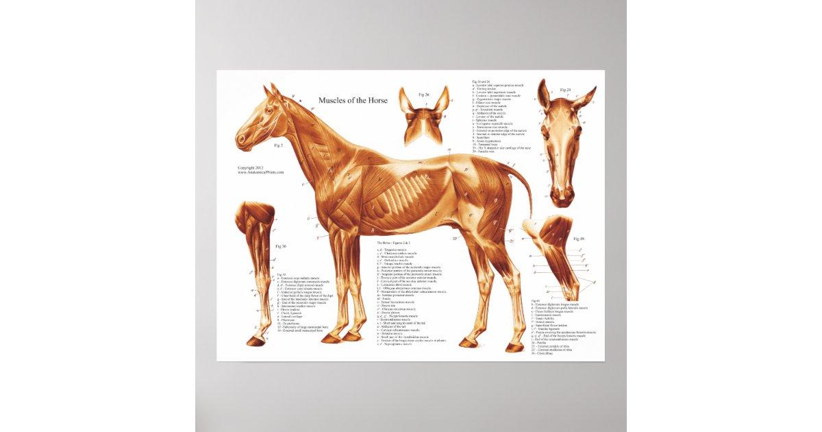 Tolle Pferd Anatomie Diagramm Galerie - Anatomie Von Menschlichen ...