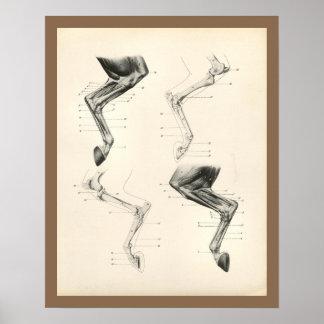 Pferdemuskel-Bein-Knochen-Veterinäranatomie-Druck Poster