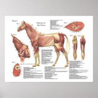 Pferdemuskel-Hals-Schulter-Anatomie-Diagramm Poster