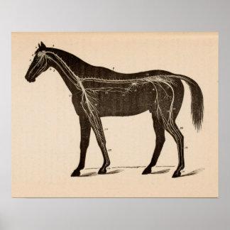 Pferdenervöses Systems-Anatomie-Vintager Druck Poster