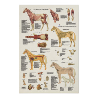 Pferdepferdeartiges Anatomie-Plakat-großes Format Poster