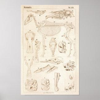 PferdeSkeleton Veterinäranatomie-Druck Poster