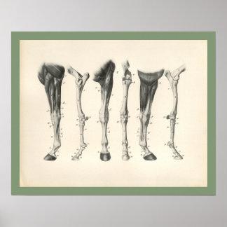 Pferdeveterinärbein-Knochen-Muskel-Anatomie-Druck Poster