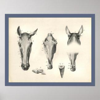 Pferdeveterinärschädel-Kopf-Muskel-Anatomie-Druck Poster