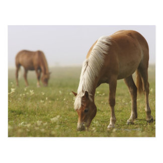 PferdeWildblumewiesenmorgen-Nebel Klavier Postkarten