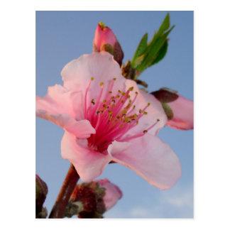 Pfirsich-Baum an der Dämmerung Postkarte