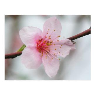 Pfirsich-Blüte Postkarte