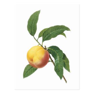 Pfirsich (Prunus-SP.) durch Redouté Postkarte