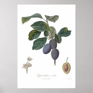 Pflaume, Imperatrice violette Poster