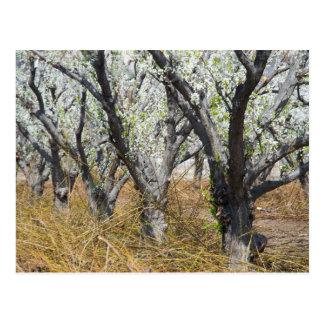 Pflaumen-Obstgarten im Frühjahr Postkarte