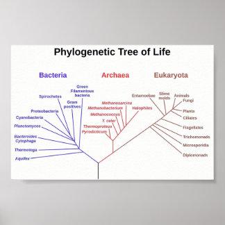 Phylogenetischer Baum Poster