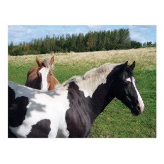 Piebald-u. Kastanien-Pferde Postkarte