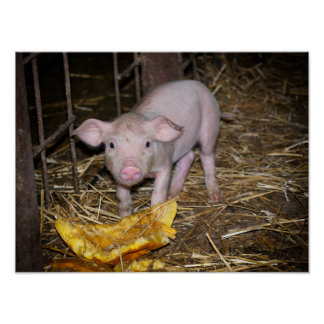 Piggy Bauernhof Poster