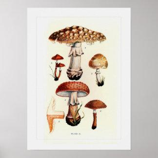 Pilze Posterdrucke