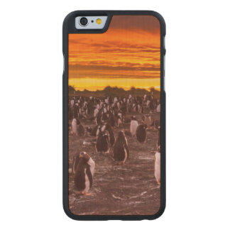 Pinguinkolonie am Sonnenuntergang, Falkland Carved® iPhone 6 Hülle Ahorn