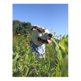 Pitbull-Knochen-Frühling Postkarte