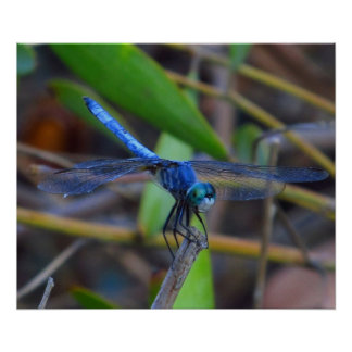 Plakat - blaue Libelle