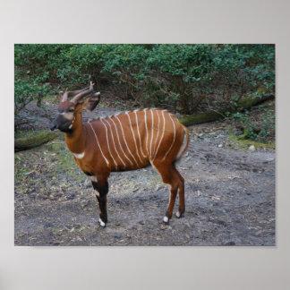Plakat des Bongo-(Antilope)