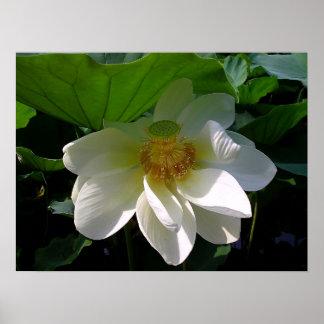 Plakat mit empfindlicher weißer Lotos-Blume