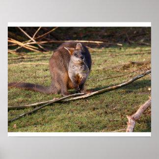 Plakat Sumpf Wallaby (Wallabia zweifarbig)