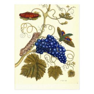 Platte einer Motte (Eumorpha labruscae) die Postkarte