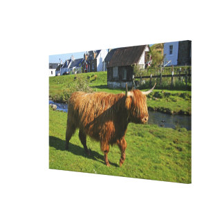 Plockton, Schottland. Haarigen Coooos (Kühe) Galerie Falt Leinwand
