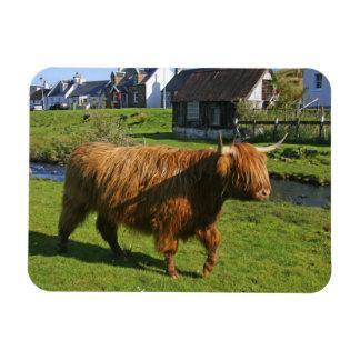 Plockton, Schottland. Haarigen Coooos (Kühe) Hande Eckiger Magnet