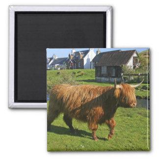 Plockton, Schottland. Haarigen Coooos (Kühe) Hande Quadratischer Magnet