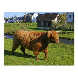 Plockton, Schottland. Haarigen Coooos (Kühe) Postkarte