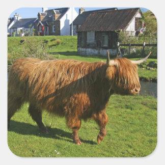 Plockton, Schottland. Haarigen Coooos (Kühe) Quadratischer Aufkleber