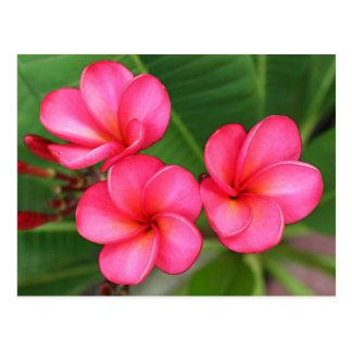 Plumeria - Miami-Rose auf Postkarte