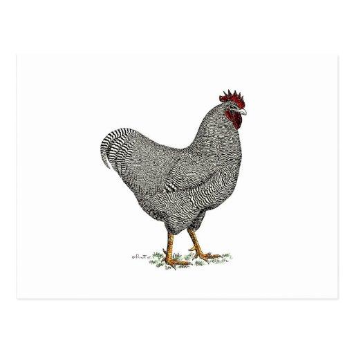 Plymouth-Felsen-Huhn-Zeichnen Postkarten
