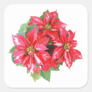 Poinsettia-Weihnachtsstern transparentes png Quadratischer Aufkleber