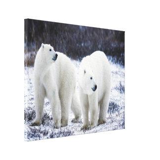 Polarer Bärn-Liebe Leinwanddruck