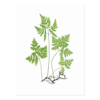 Polypodium Dryopteris Postkarte