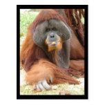 Pongo-Orang-Utan Affen-Postkarte