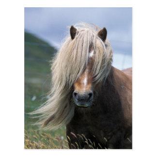Pony Großbritanniens, Schottland, Shetland-Inseln, Postkarte
