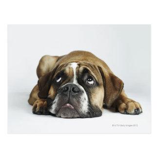 Porträt alter Tyme Bulldogge Dorsets Postkarte